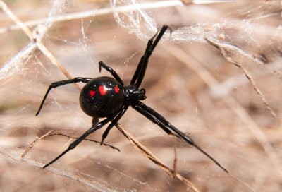 black - widow